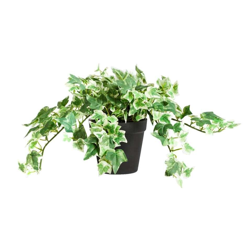 Klimop in pot - groen/wit - 20 cm