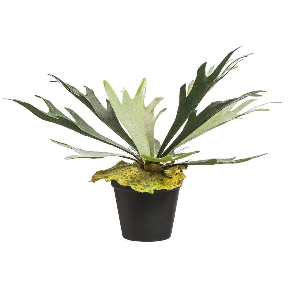 Hertshoorn in pot - 30 cm