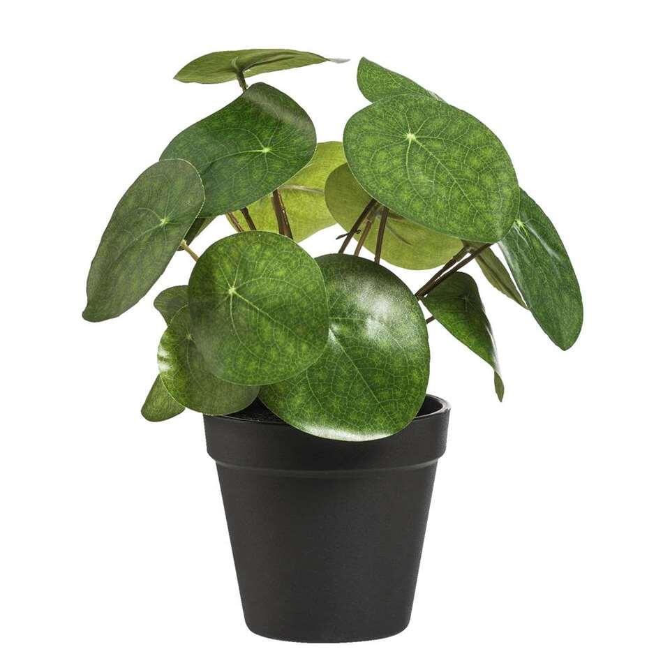 Pannenkoekenplant in pot - 25 cm