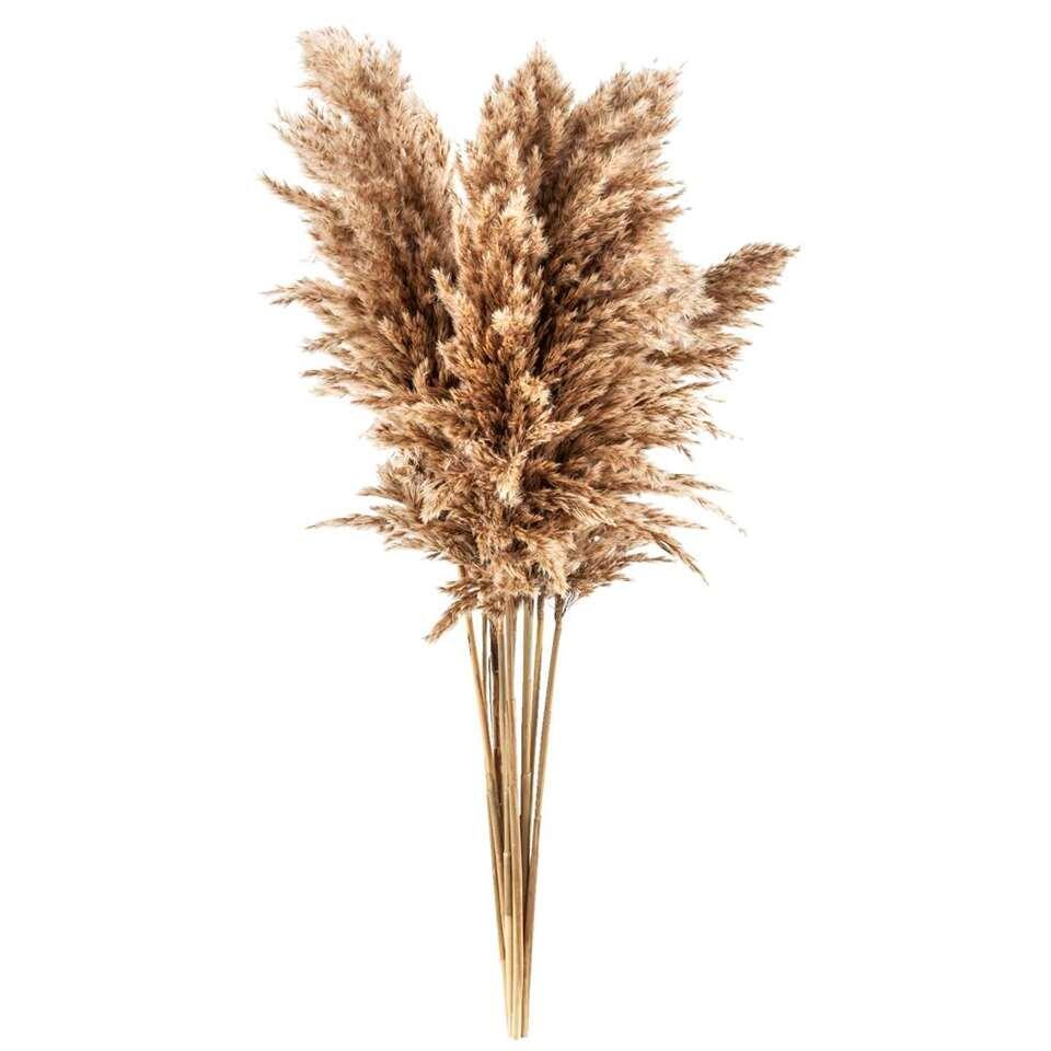 Herbe de la pampa, le lot de 10 - 75 cm