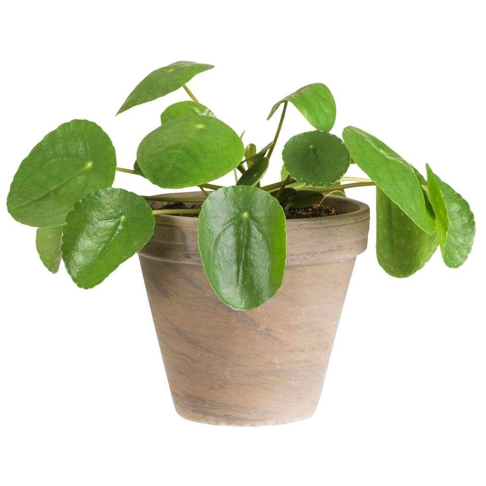 Pannenkoekplant in basalt pot - levende plant